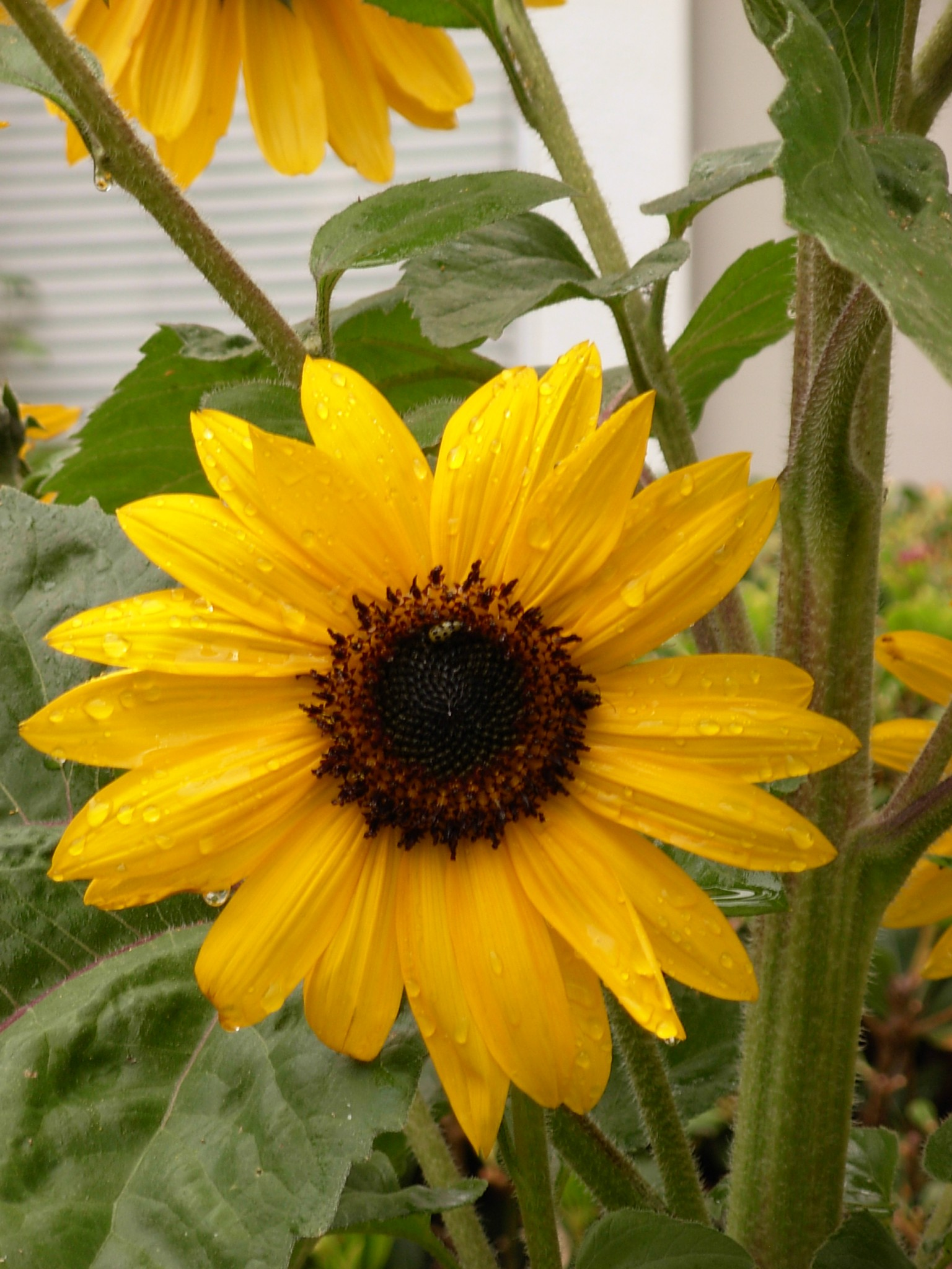 Rainy Sunflower
