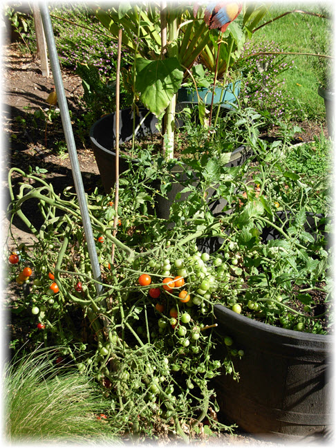 Fall Garden Cleanup - Unplanned Tomatos